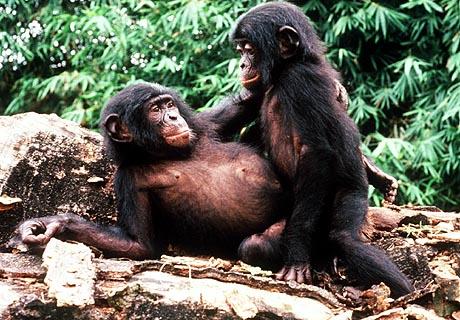 USC Bonobo Study Group