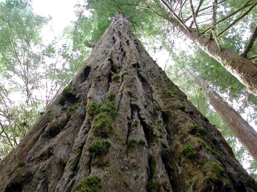 Obama's Ocular Redwood